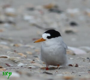 Critically endangered Fairy Tern