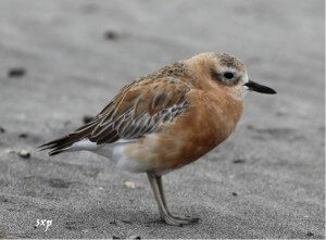 Northern New Zealand Dotterel