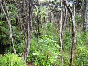 Shady manuka pathways of the Community Park